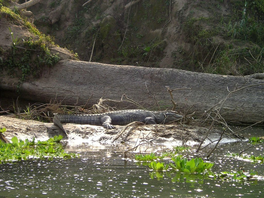 chitwan crocodile